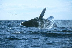 Whale in Flight