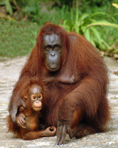 borneo orangutan female k marshall web