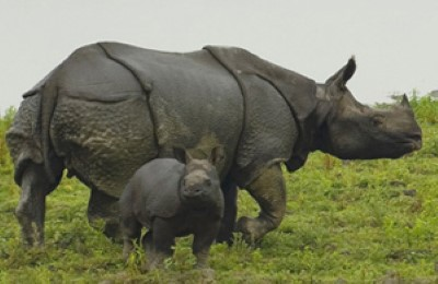india kaziranga rhinos farhorizon