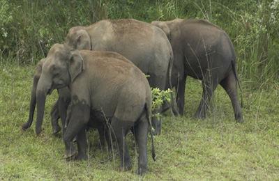 india kerala periyer elephants