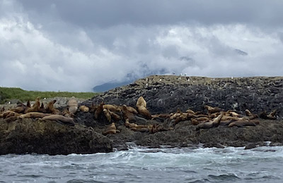 tofino sealions shore