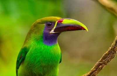 emerald toucanet alex arias costa rica