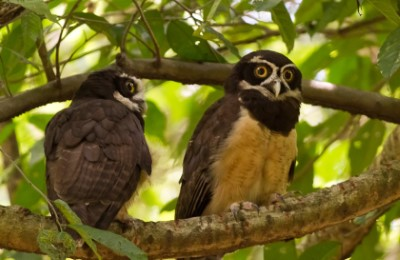 owls alex arias costa rica