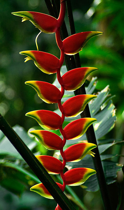 bolivia heliconia vertical fremen