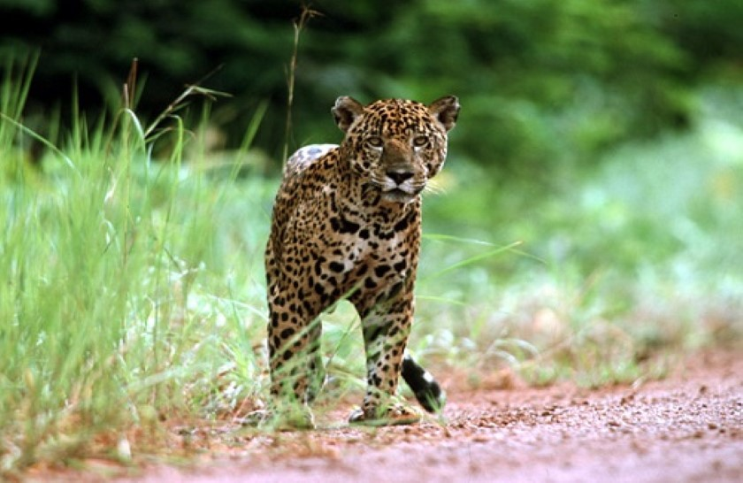 brasil jaguar wildlife photography