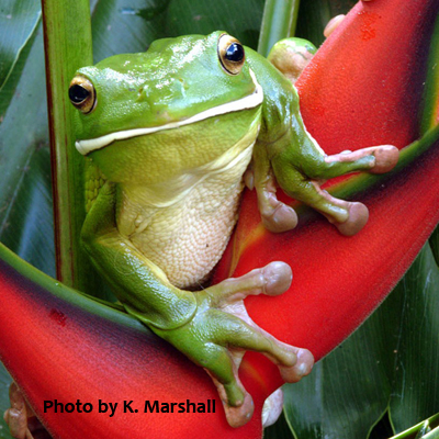 White Lipped Green Treefrog, photo by K. Marshall