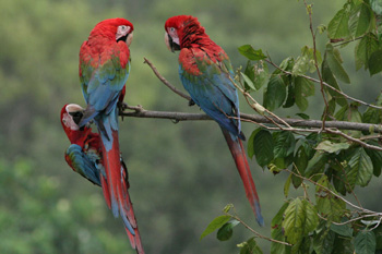 Red Green Macaws